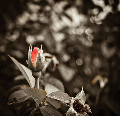 Photograph - Vintage Rose by Amber Flowers