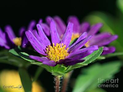 Photograph - Violet Aster From The Daylight Mix by J McCombie