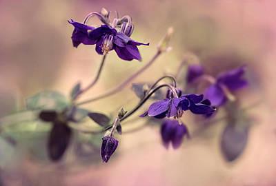 Photograph - Violet Columbines by Jaroslaw Blaminsky