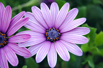 The African Daisy 3 Art Print by Isam Awad