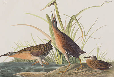 Edge Painting - Virginia Rail by John James Audubon