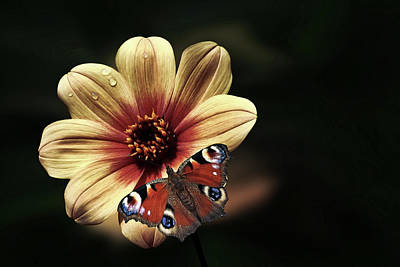 Photograph - Visiting Peacock Butterfly by Hans Benn