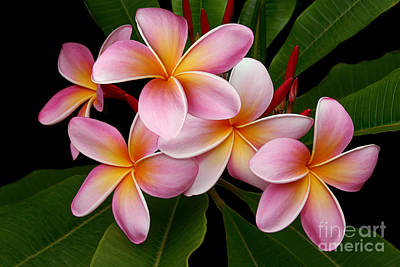 Springflowers Photograph - Wailua Sweet Love by Sharon Mau