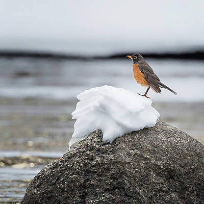 American Robin Photograph - Waiting For Spring Square by Bill Wakeley