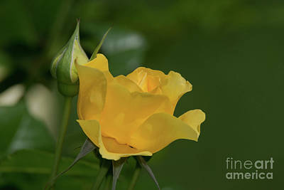 Photograph - Walking On Sunshine Rose by Glenn Franco Simmons