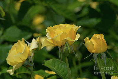Photograph - Walking On Sunshine Roses by Glenn Franco Simmons