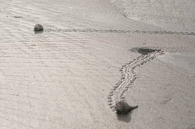 Photograph - Walking Shells by Victor Culpepper
