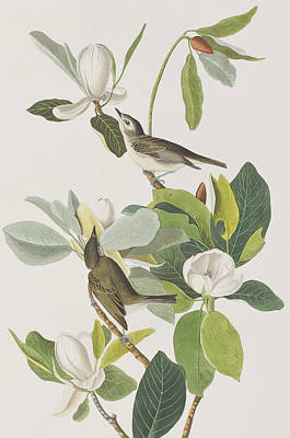 Flycatcher Painting - Warbling Flycatcher by John James Audubon
