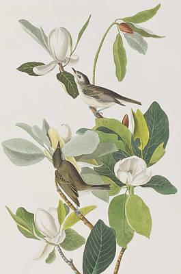 White Drawing - Warbling Flycatcher by John James Audubon