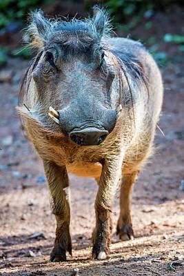 Wart Hog Portrait Looking Straight At Camera Art Print by Alex Grichenko