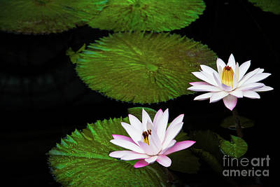 Tropical Photograph - Water Lilies And Lily Pads by Amy Cicconi
