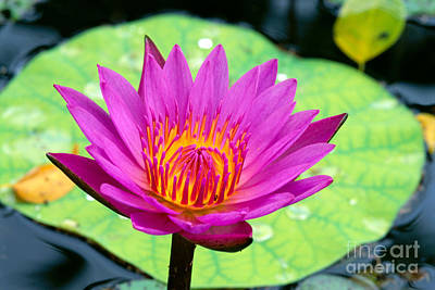 Photograph - Water Lily by Bill Brennan - Printscapes