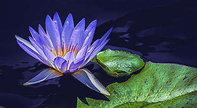 Aquatic Digital Art - Water Lily In Lavender by Julie Palencia
