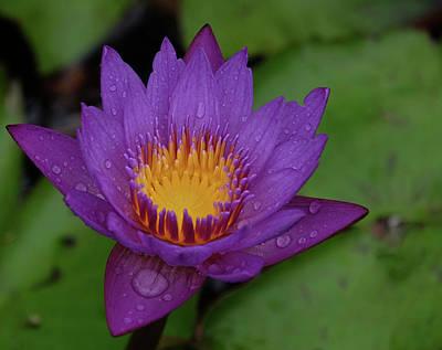 Water Lily Art Print by Ronda Ryan