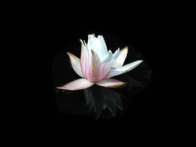 Photograph - Waterlily by David Weeks