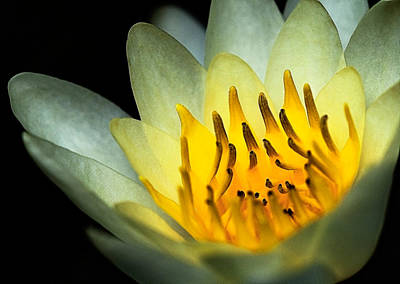 Waterlily--heart Of Fire Art Print