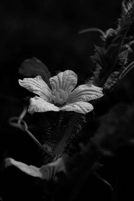 Photograph - Watermelon Blossom by Karen Harrison