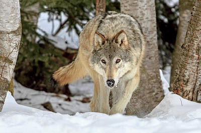 Photograph - Way Of The Wolf by Jack Bell
