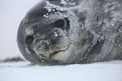 Photograph - Weddell Seal Portrait by Bruce J Robinson
