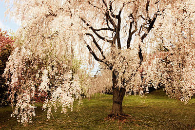 Weeping Cherry Tree Art Print