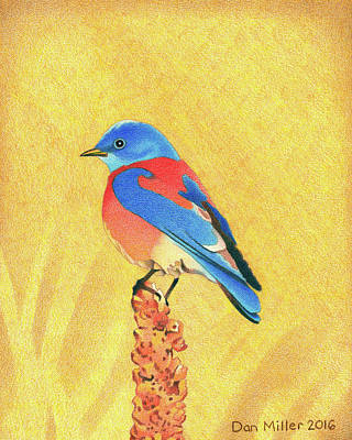 Drawing - Western Bluebird by Dan Miller