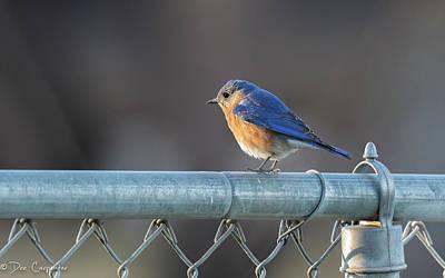 Photograph - Western Bluebird by Dee Carpenter