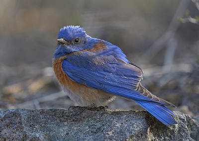 Photograph - Western Bluebird by Doug Herr