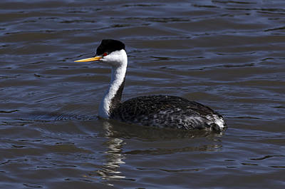 Bird Photograph - Western Grebe by James Little