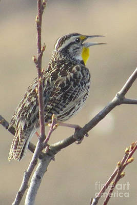 Photograph - Western Meadowlark by Frank Townsley