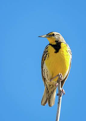 Photograph - Western Meadowlark by Michael Chatt