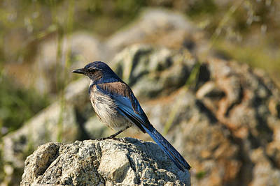 Photograph - Western Scrub-jay by Gregory Scott