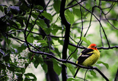 Western Tanager Photograph - Western Tanager by M Images Fine Art Photography and Artwork
