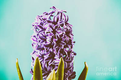 Dutch Hyacinth Photograph - Wet Common Dutch Garden Hyacinth Hyacinthus Orientalis With Water Droplets by Radu Bercan