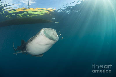 Water Filter Photograph - Whale Shark Coming Up From The Depths by Mathieu Meur