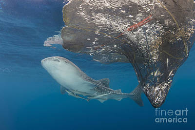 Animals Photos - Whale Shark Swimming by Mathieu Meur