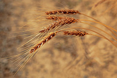 Photograph - Wheat Closeup by Mary Jo Allen