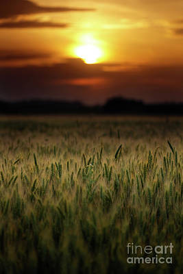 Wheat Field At Sunset, Sun In The Frame Art Print by Catalin Petolea
