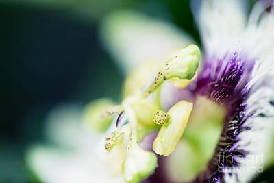 Passiflora Edulis Photograph - Where Are You by Sharon Mau