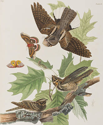 Leaf Drawing - Whip Poor Will by John James Audubon