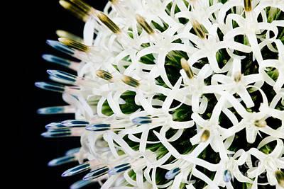 Photograph - White Alium Onion Flower by Colin Rayner