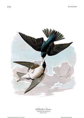 Swallow Wall Art - Painting - White-bellied Swallow by John James Audubon