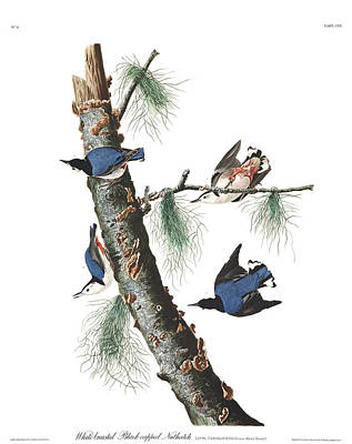 Nuthatch Wall Art - Painting - White-breasted Black-capped Nuthatch by John James Audubon