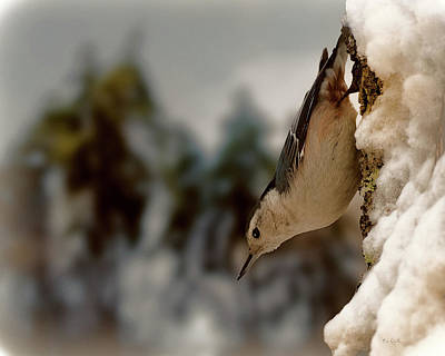 Framed Inspirational Wildlife Photograph - White Breasted Nuthatch In The Snow by Bob Orsillo