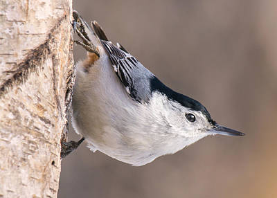 Agility Photograph - White-breasted Nuthatch by Jim Hughes