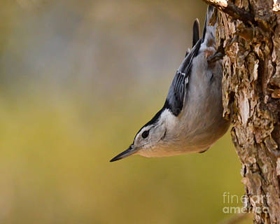 Photograph - White-breasted Nuthatch by Kerri Farley