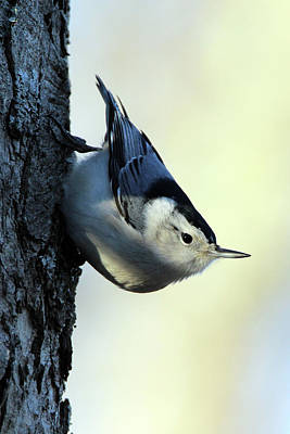 White Breasted Nuthatch Wading River New York Art Print