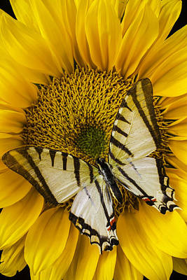 White Butterfly On Sunflower Print by Garry Gay