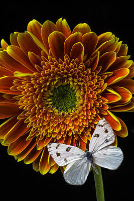 Gerbera Photograph - White Butterfly Resting by Garry Gay