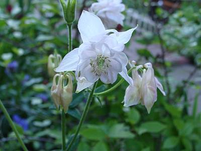 Photograph - White Columbine by Anthony Seeker