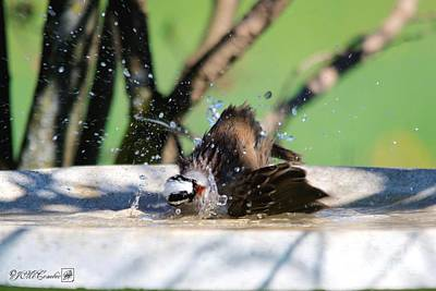 Photograph - White-crowned Sparrow Bathing by J McCombie